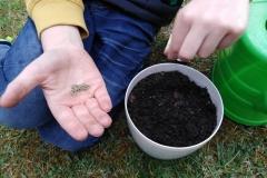 ogrodnik Bartuś sieje pietruszkę naciową
