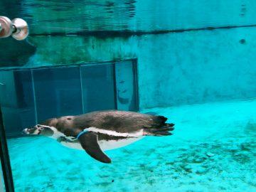 pingwin z zoo w Chorzowie